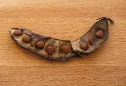 Семена кэроба