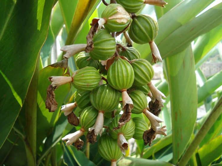 Как растет кардамон