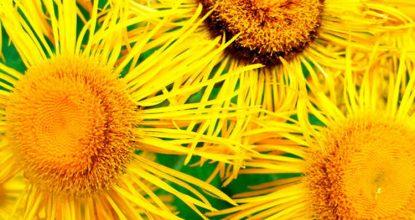 Лечение девясилом— рекомендации и рецепты настоек