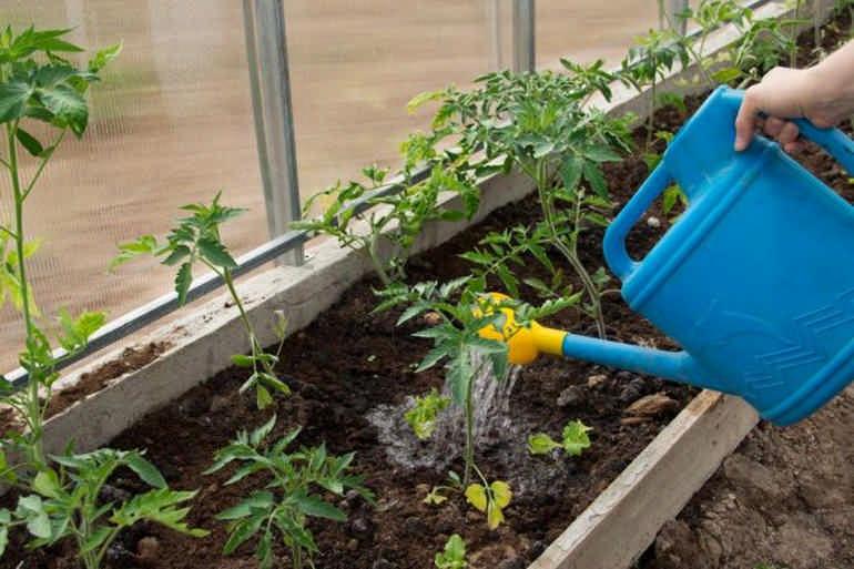 Каr посадить помидоры в теплице полив саженцев