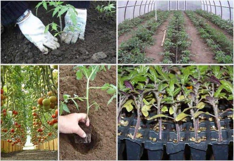 Каr посадить помидоры в теплице