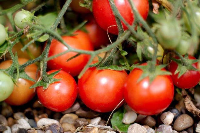 Можно ли подкармливать помидоры во время цветения и плодоношения