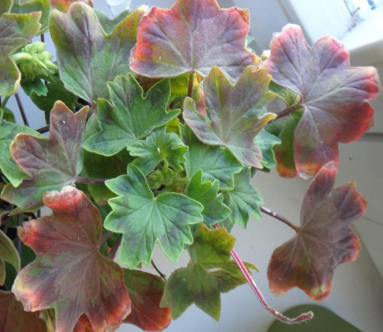 Покраснение листьев герани
