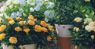 почему нельзя держать дома розу