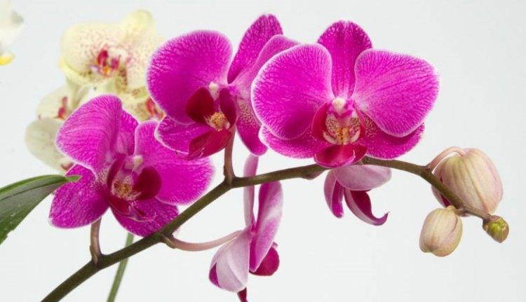http://anisima.ru/wp-content/uploads/wsi-imageoptim-phalaenopsis1.jpg