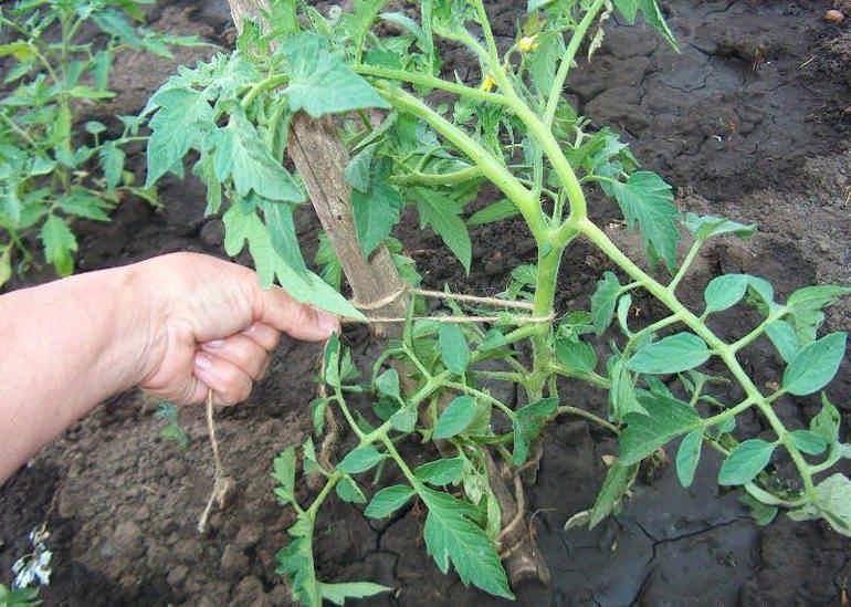 Как сажать помидоры в теплице, Как убрать пасынки