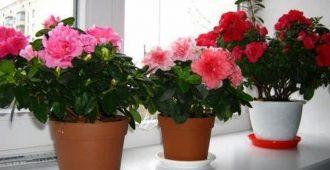 вредные цветы для дома