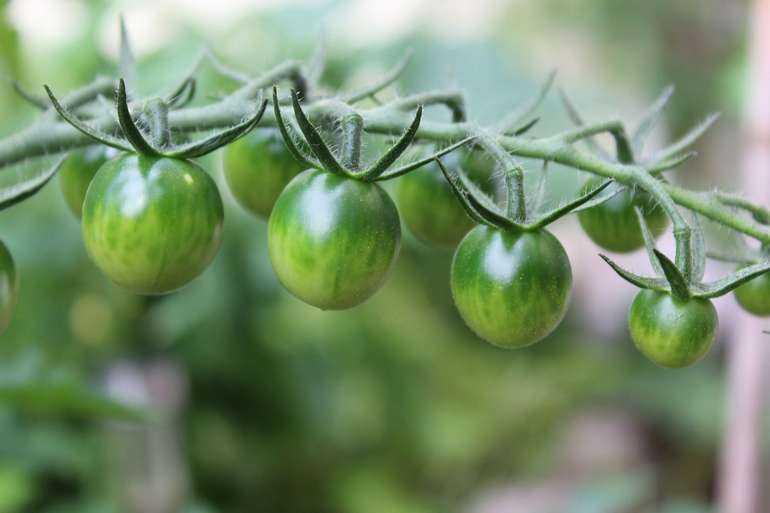 Как ускорить созревание томатов в теплице и дома