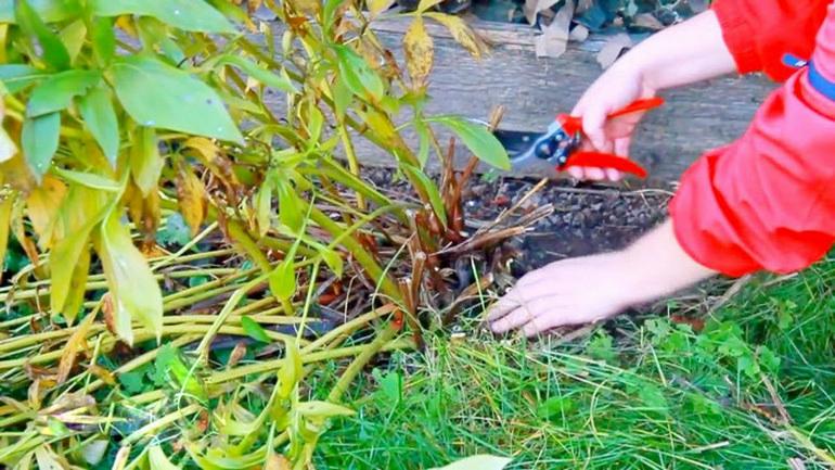 Как обрезать пионы осенью