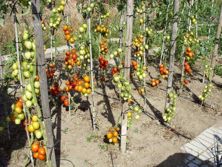 Когда и как правильно нужно обрезать листья у помидор