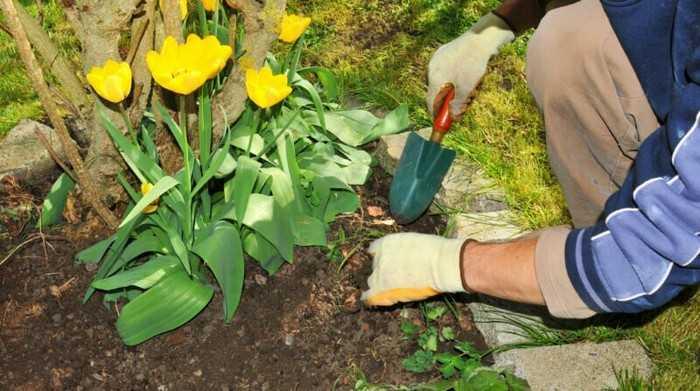 Особенности выращивания тюльпанов