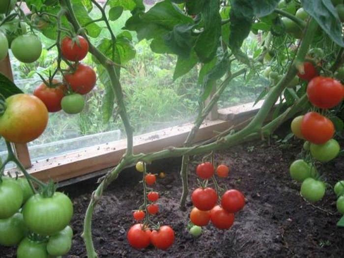 Советы Октябрины Ганичкиной про помидоры: как пасынковать, чем подкармливать