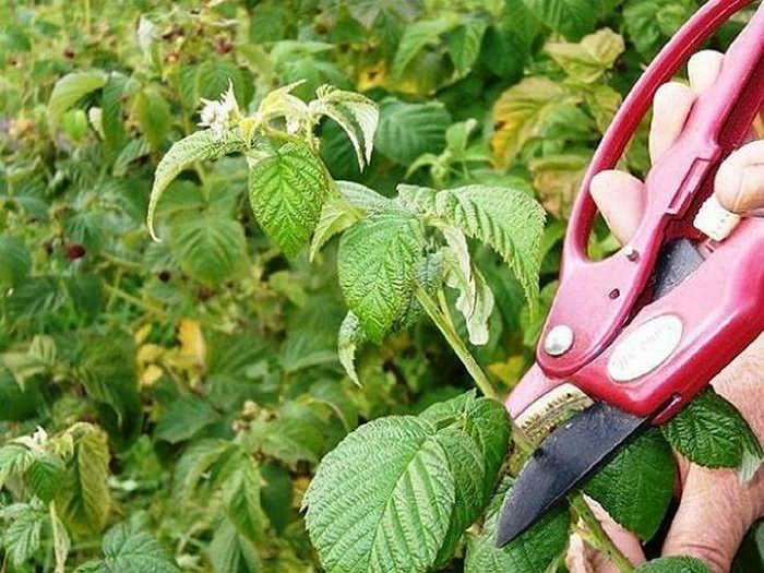 Как самостоятельно и правильно обрезать малину после сбора урожая