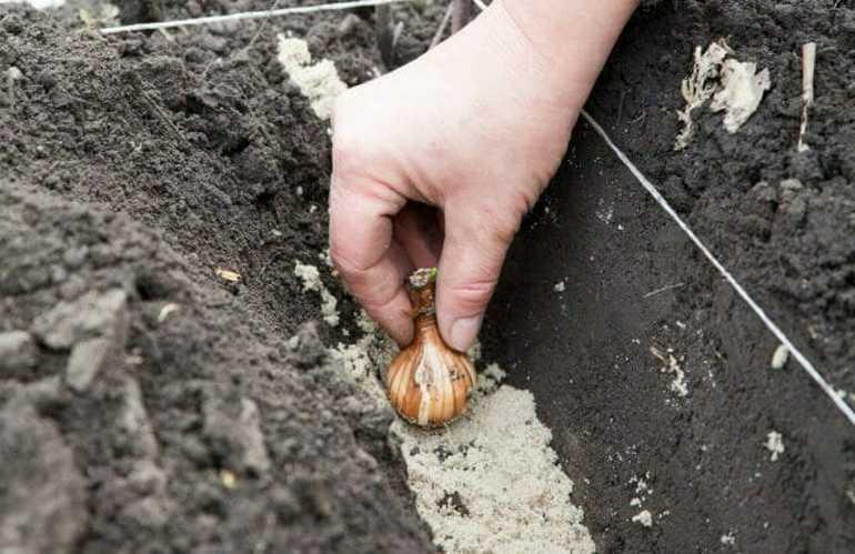 как правильно сажать тюльпаны осенью