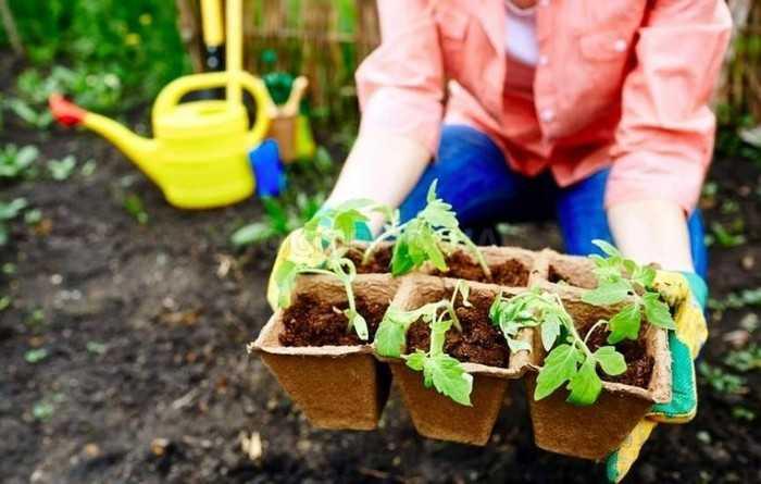 Как укрепить рассаду томатов