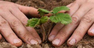 как рассадить клубнику осенью
