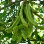 Кэроб - плоды рожкового дерева