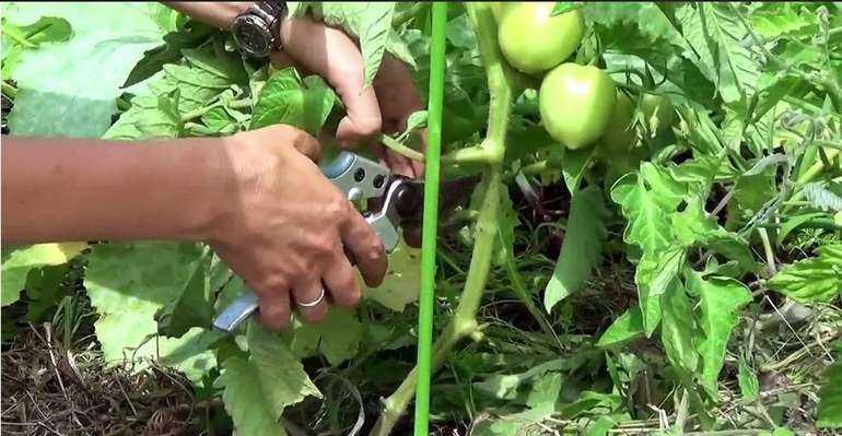 Как правильно обрезать листья у помидор