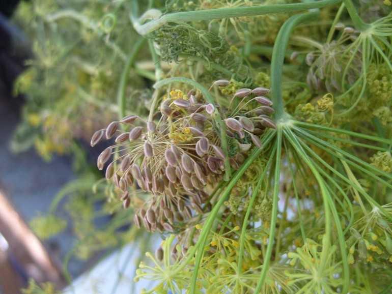 Народное лечение семенами укропа