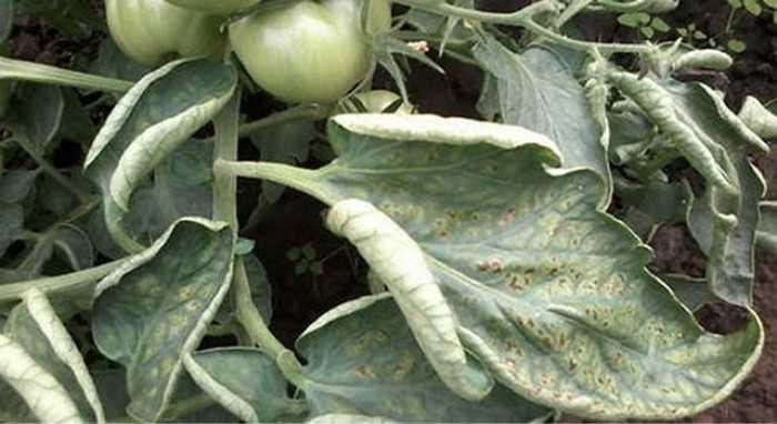Скручиваются листья у помидоров