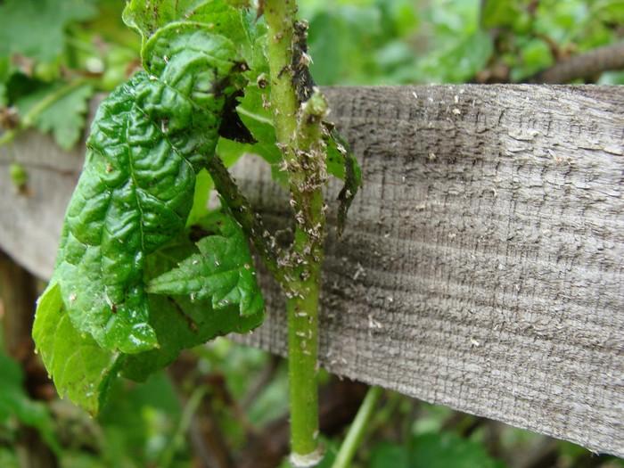 Закручиваются листья у смородины: как правильно обработать