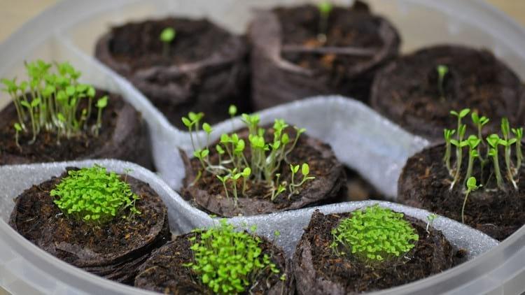Что делать, если рассада вытянулась: советы огородникам