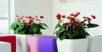 Красавец антуриум или цветок Мужское счастье