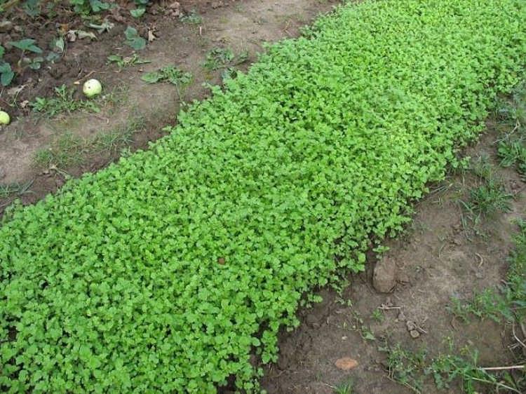 какие сидераты лучше сеять осенью