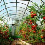 Как посадить помидорпы в теплице