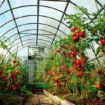 Как посадить помидоры в теплице