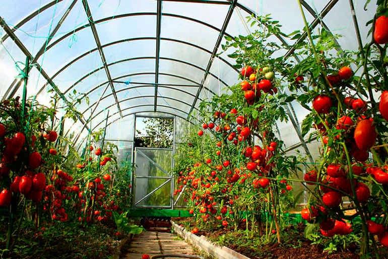 помидоры</highlight> в арочной теплице из поликарбоната