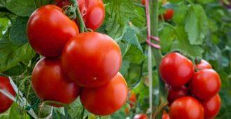 Можно ли подкармливать помидоры