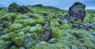 как принимать исландский мох