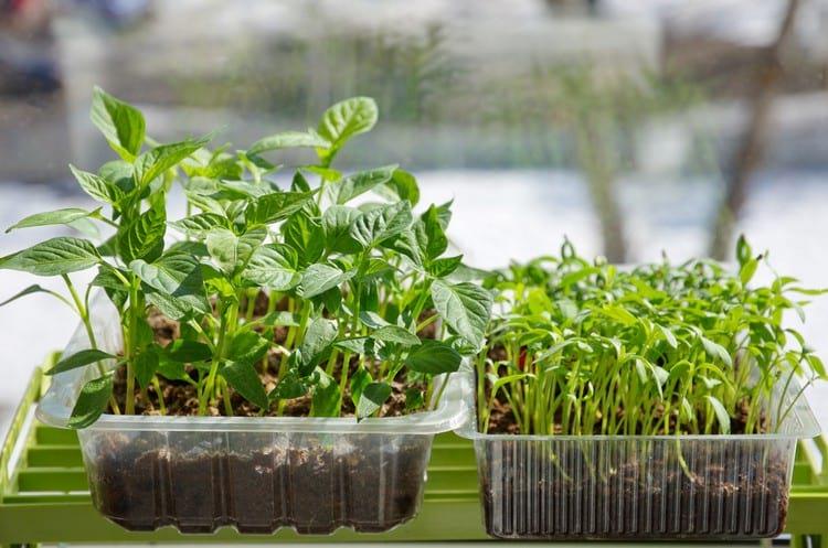 Как вырастить хорошую рассаду томатов в домашних условиях: советы огородников