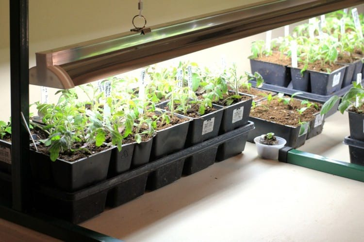 как вырастить хорошую рассаду томатов