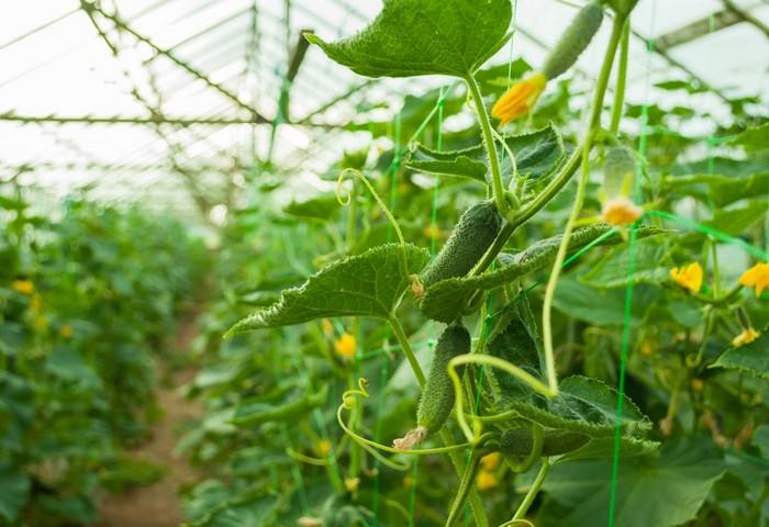 Уход за огурцами в теплице: правила выращивания