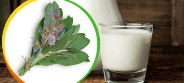 Как принимать шалфей с молоком от кашля взрослым и детям