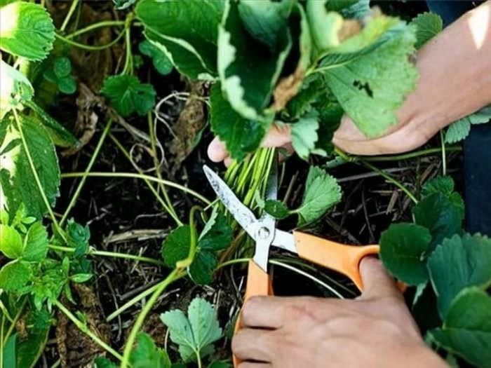 Уход за клубникой после сбора урожая: что делать, как подкармливать и обрезать