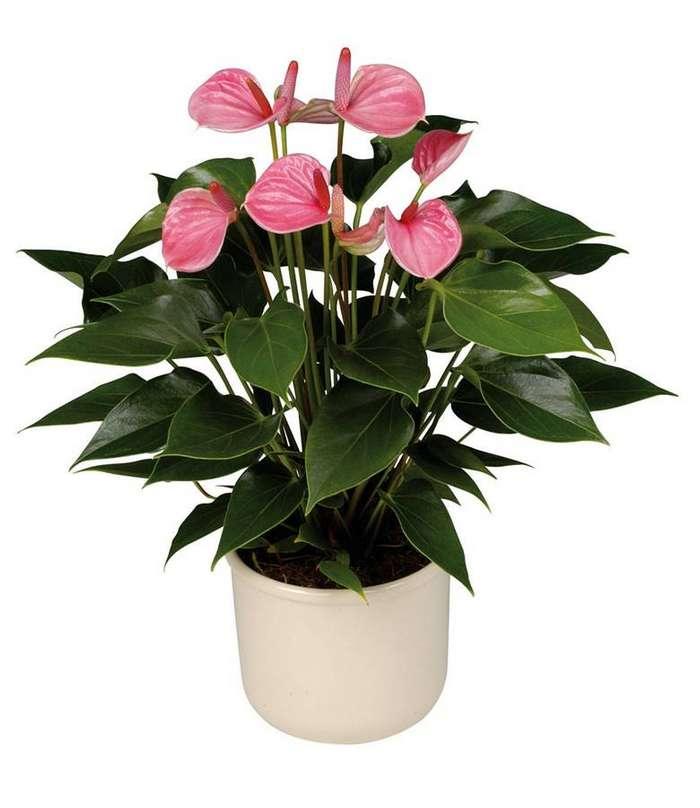 Цветок спатифиллум на обретение женского счастья