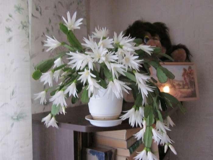 Как ухаживать за цветком декабрист, чтобы наслаждаться его роскошным цветением