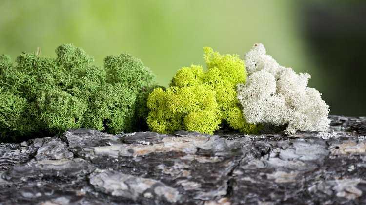 Исландский мох: лечебные свойства и противопоказания, рецепты и отзывы. Как принимать исландский мох от кашля, бронхита, туберкулеза, простатита, для очищения сосудов, похудения?