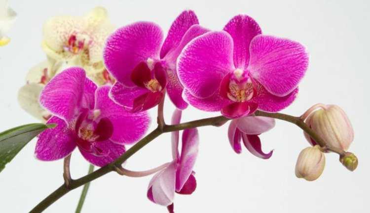 виды комнатных орхидей