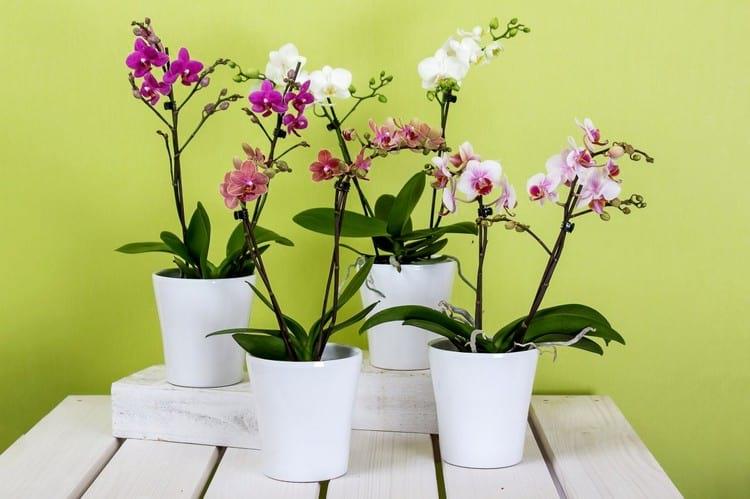 В чем польза янтарной кислоты для комнатных цветов